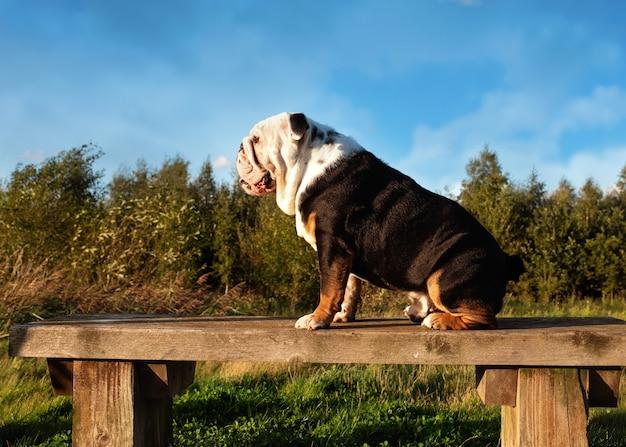 Schwarze und weiße englische bulldogge für einen spaziergang, der auf einer bank bei sonnenuntergang sitzt