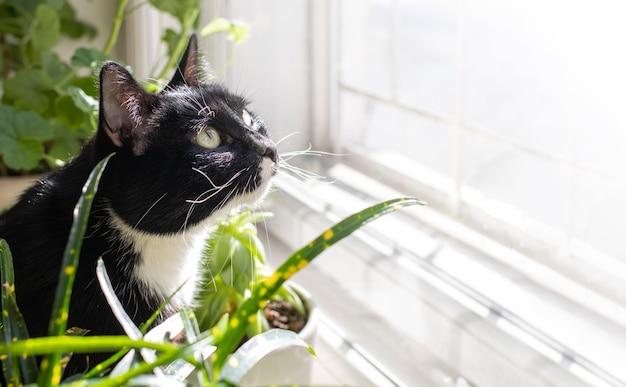 Schwarze und weiße katze, die vor einem sonnenbeschienenen fenster zwischen grünen hauspflanzen sitzt und zu ihr aufschaut. horizontale ausrichtung. selektiver fokus. kopieren sie platz für text.