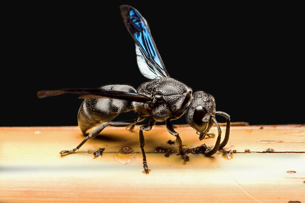 Schwarze wespe mit blauen flügeln, die auf den bambusstock beißen