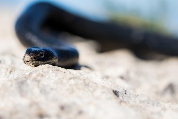 Schwarze westliche peitschenschlange, die auf felsen und trockener vegetation in malta rutscht