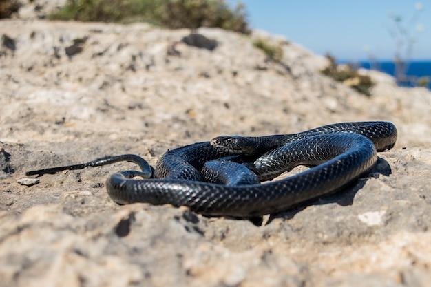 Schwarze westliche peitschenschlange, die sich auf einer felsigen klippe in malta in der sonne aalt