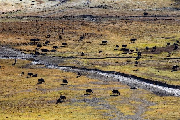 Schwarze yaks grasen hoch in den bergen.