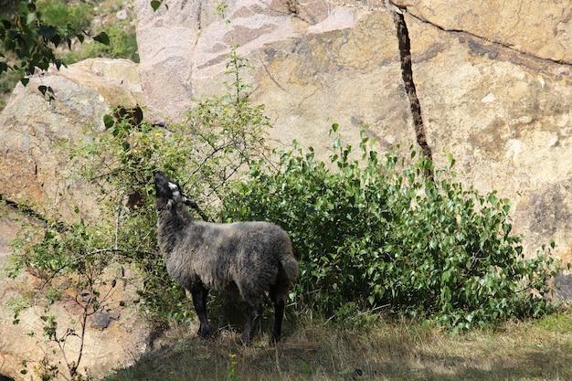 Schwarze ziege frisst aus einem busch neben einer klippe in sandvig, bornholm