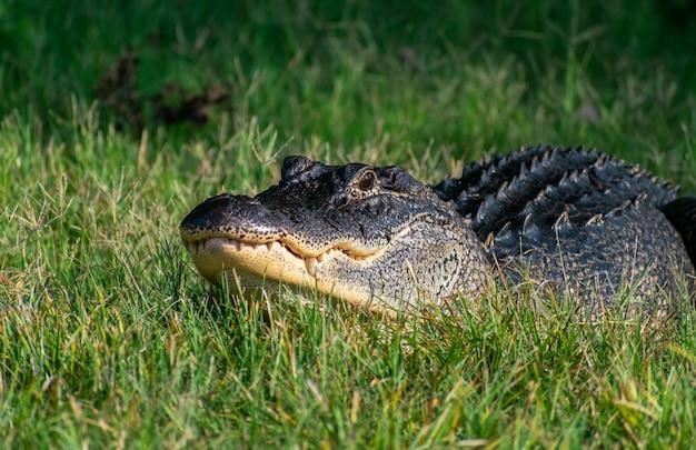 Schwarzer amerikanischer alligator, der auf dem gras unter sonnenlicht mit einem verschwommenen hintergrund kriecht