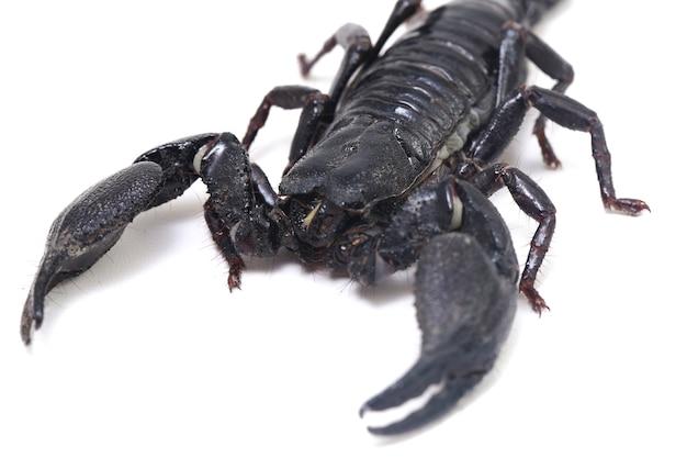 Schwarzer asiatischer waldskorpion (heterometrus) isoliert