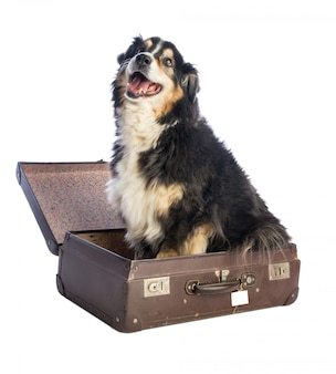 Schwarzer australischer schäferhund im koffer