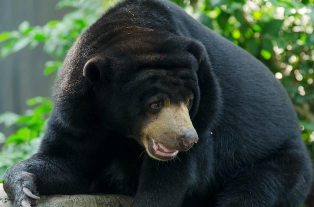 Schwarzer bär im zoo offen in thailand