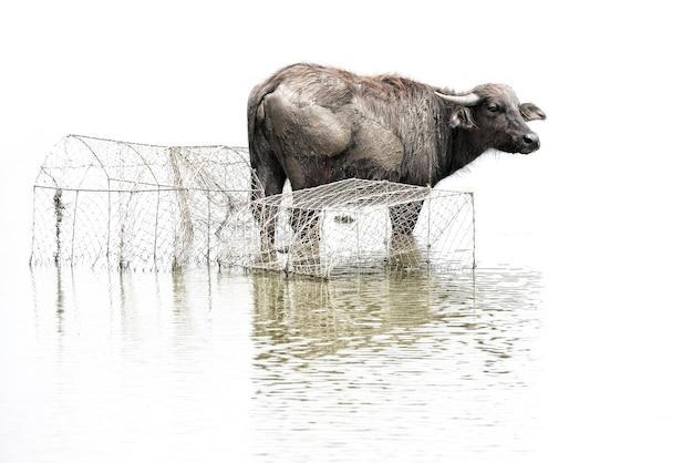 Schwarzer büffel, wasserbüffel in süd- von thailand lokalisiert auf weißem hintergrund