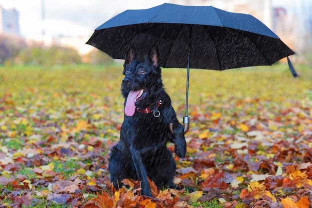 Schwarzer deutscher schäferhund unter einem regenschirm im herbstpark