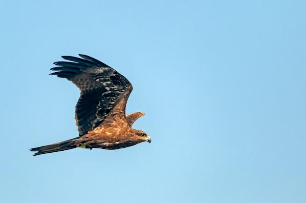 Schwarzer drachen, der im blauen himmel fliegt