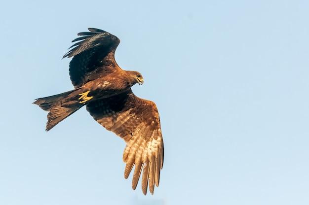 Schwarzer drachen, der mit freiheit im blauen himmel fliegt