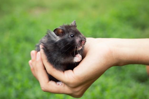 Schwarzer flaumiger hamster in der hand, auf einem schönen hintergrund
