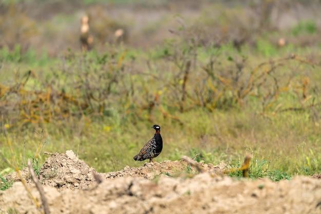 Schwarzer francolin in freier wildbahn
