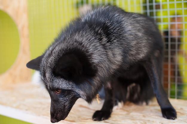 Schwarzer fuchs im kontakt zoo. haustiere auf dem bauernhof.