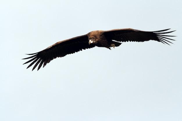 Schwarzer geier fliegt mit dem ersten licht der morgendämmerung
