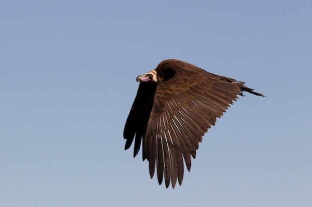 Schwarzer geier fliegt