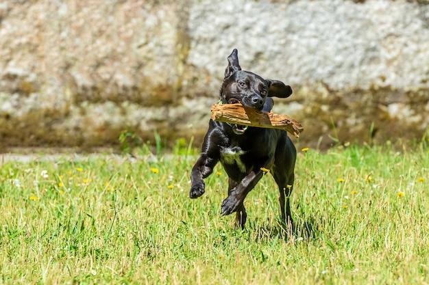 Schwarzer glatter hund läuft mit einem stock in seinen zähnen auf dem grünen gras, strahlend sonniger tag