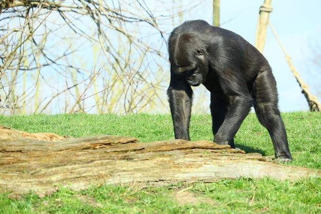 Schwarzer gorilla, der auf dem gras steht, umgeben von bäumen