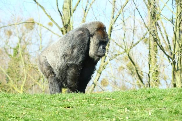 Schwarzer gorilla, der tagsüber von bäumen umgeben ist