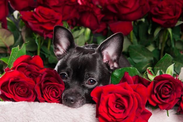 Schwarzer hund chihuahua, der kamera mit rotem rosenhintergrund betrachtet