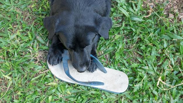 Schwarzer hund, der einen weißen pantoffel beißt