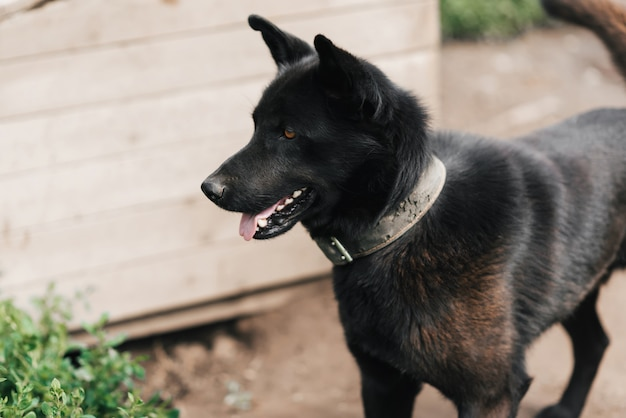 Schwarzer hund der hauptwache auf einer kette