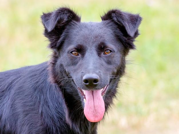 Schwarzer hund mit konzentriertem blick