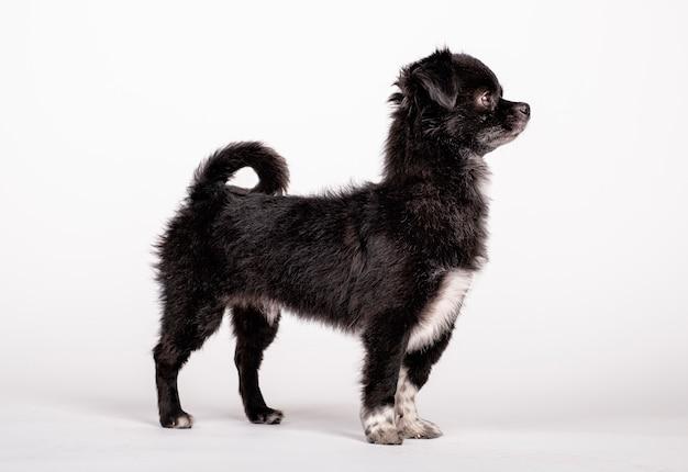 Schwarzer hund posiert stehend