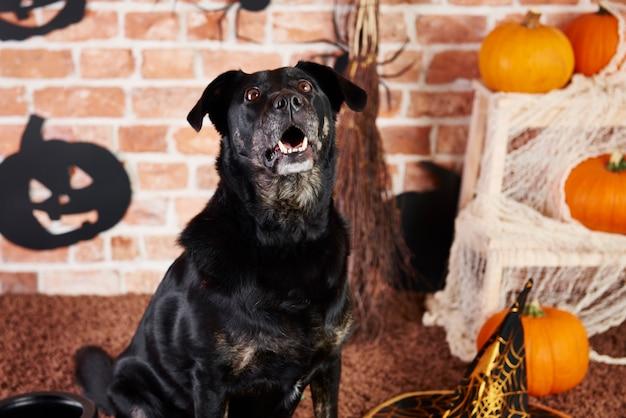 Schwarzer hund schaut auf und bellt