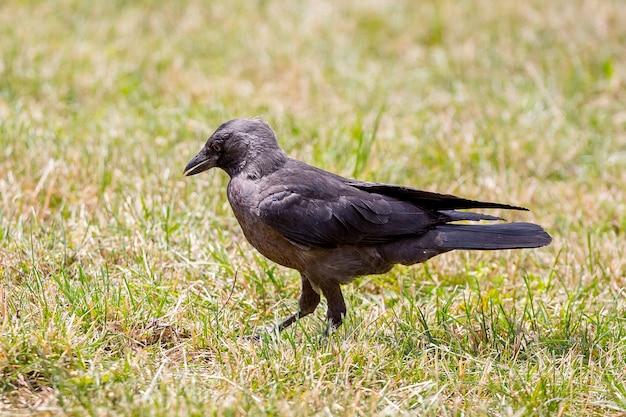 Schwarzer junger rabe auf dem gras im park