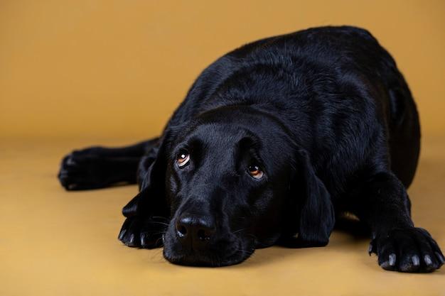 Schwarzer labrador-hund, der auf dem boden schaut traurig liegt