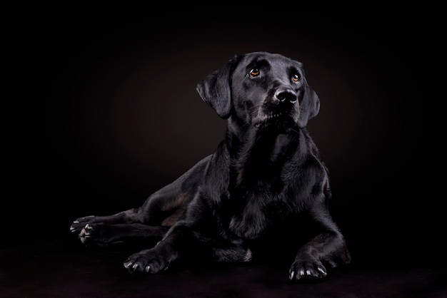 Schwarzer labrador-hund, der auf dem boden sitzt und vorwärts schaut