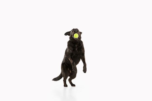 Schwarzer labrador retriever, der spaß hat. netter verspielter hund oder reinrassiges haustier sieht verspielt und niedlich lokalisiert auf weiß aus