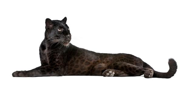 Schwarzer leopard auf einem weißen isoliert