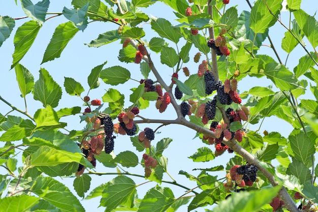 Schwarzer maulbeerbaum bedeckt mit früchten