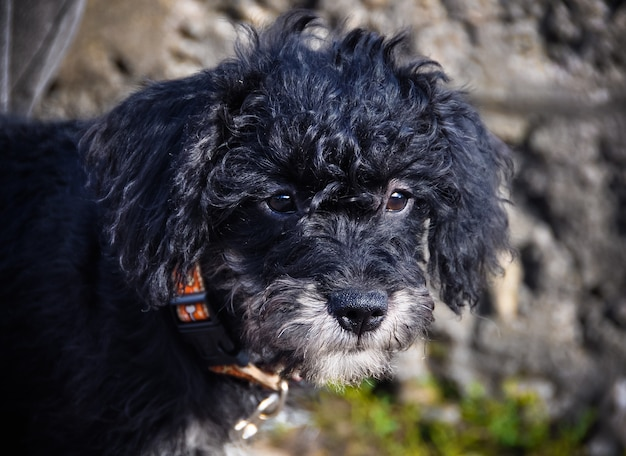 Schwarzer pudelwelpe mit lockigem haar auf verschwommenem wandhintergrund