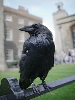 Schwarzer rabe sitzt auf einem zaun im tower von london, großbritannien