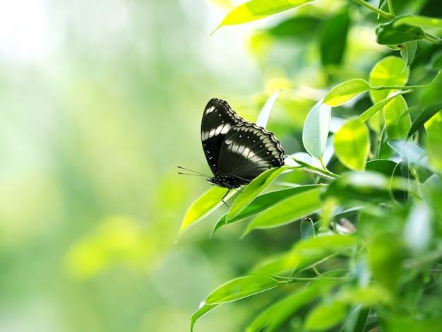 Schwarzer schmetterling auf grünem blatt, entspannen sich und beruhigen sich mit naturkonzept