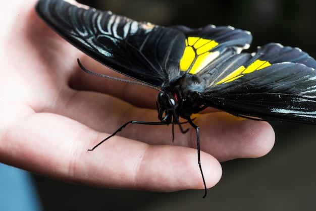Schwarzer schmetterling, der an hand steht