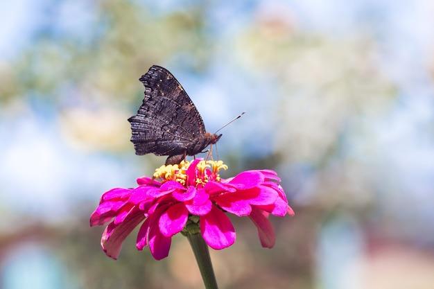 Schwarzer schmetterling, der auf einer rosa blume sitzt