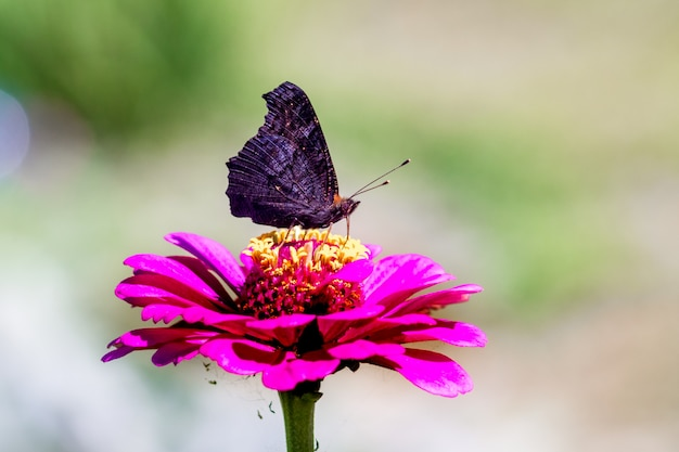 Schwarzer schmetterling, der auf einer rosa blume von zinnie sitzt