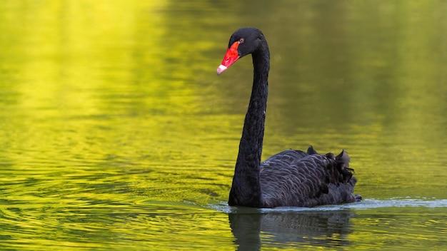 Schwarzer schwan, der auf einem see in der sonnigen sommernatur schwimmt