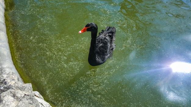 Schwarzer schwan im pool.