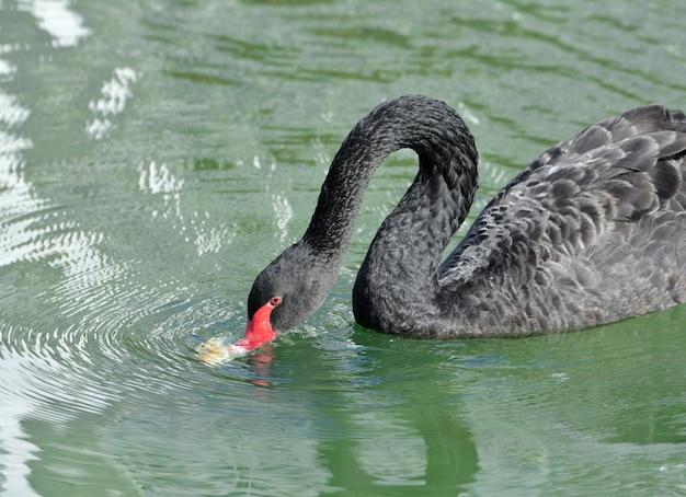 Schwarzer schwan im see