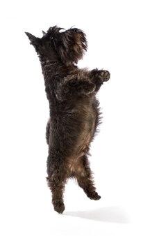 Schwarzer scottish terrier springt