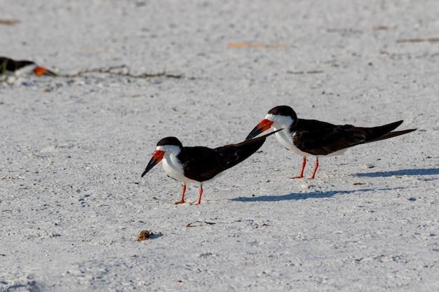 Schwarzer skimmer (rynchops niger) pensacola, florida, usa.