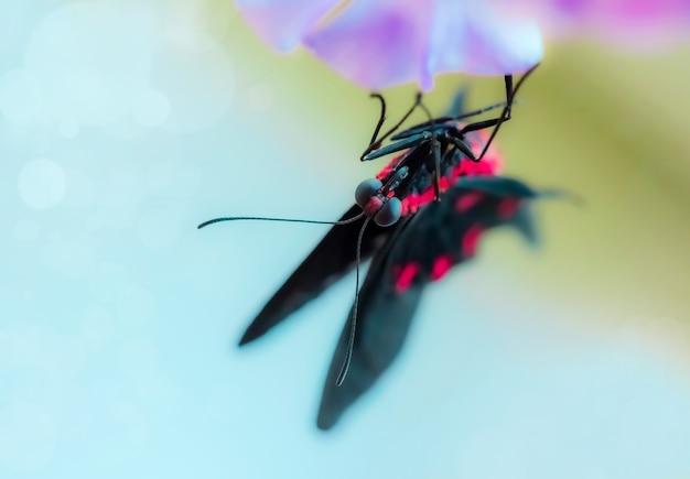Schwarzer tropischer schmetterling, der kopfüber auf der rosa blume sitzt