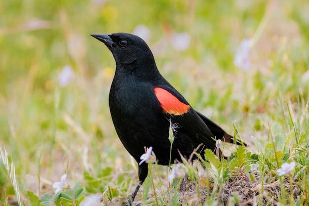 Schwarzer und orange vogel auf grünem gras während des tages