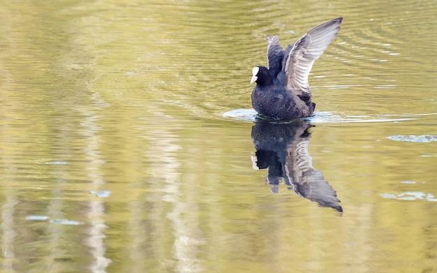Schwarzer vogel auf einem see