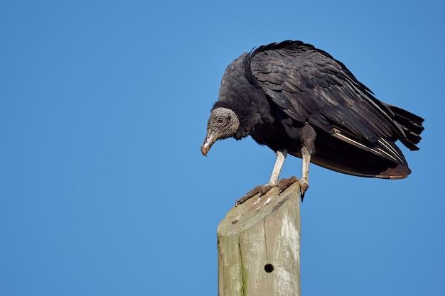 Schwarzer vogel, der sonnenbaden auf einem strommast nimmt